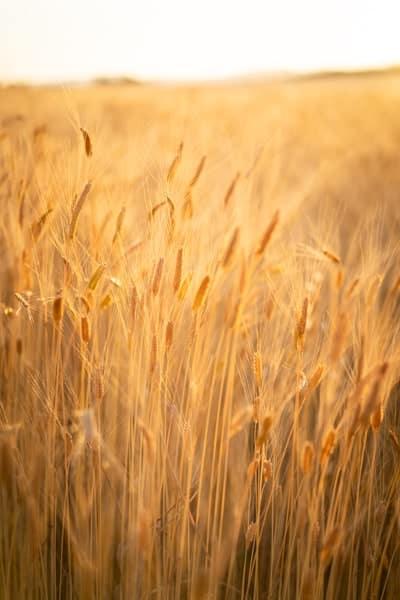 champs de blé valensole